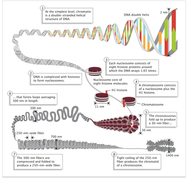 chromatin.png