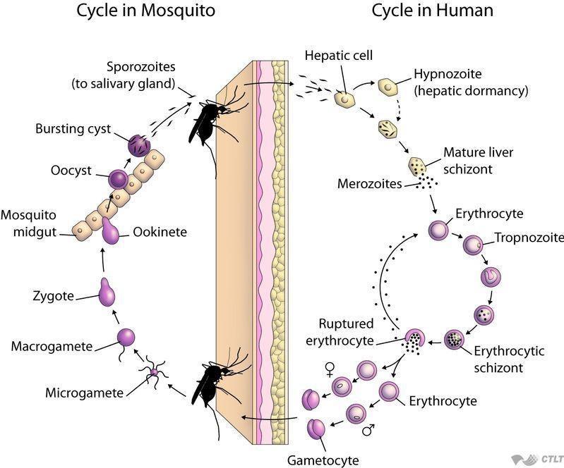 malaria life-cycle.jpg