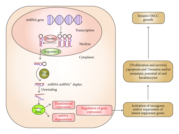 Schematic-illustration-demonstrating-biogenesis-and-function-of-miRNA-miRNA-genes-are.png