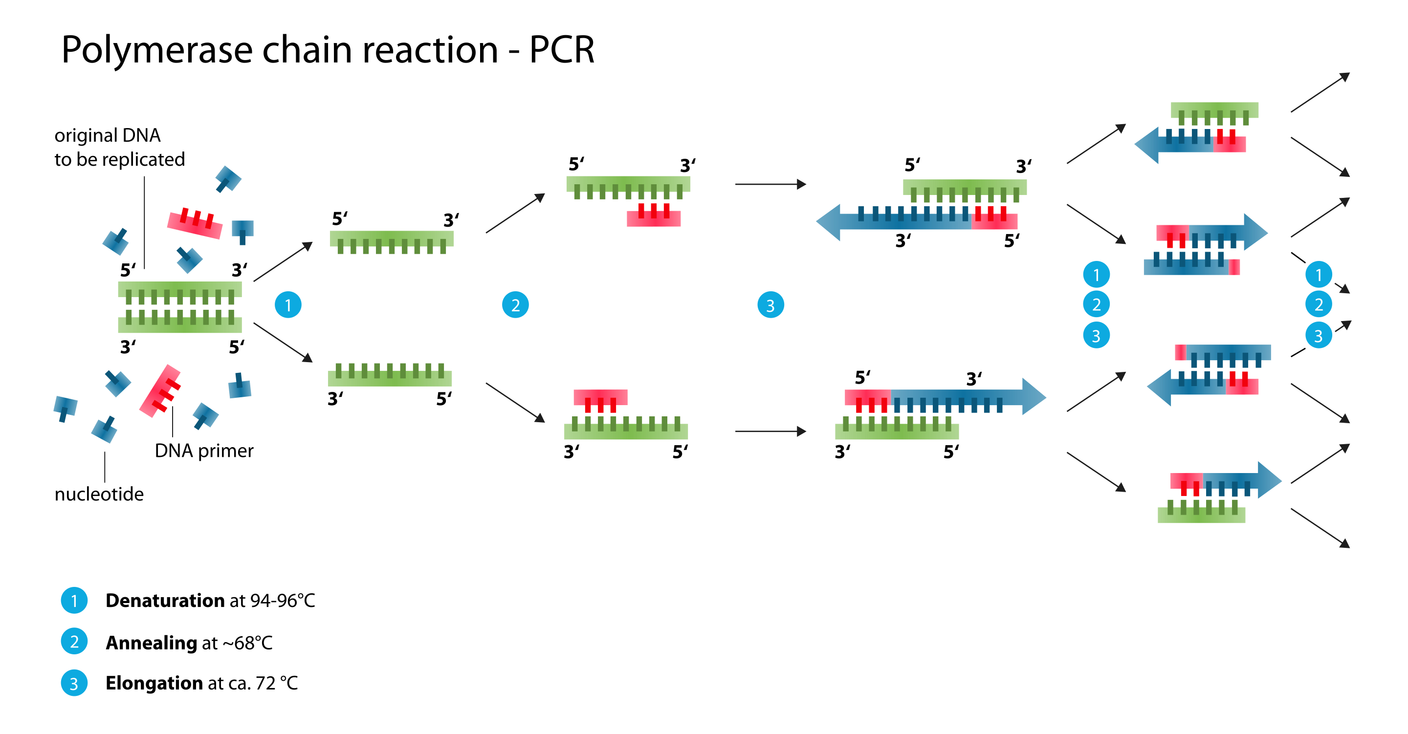 Polymerase_chain_reaction.svg_2.png